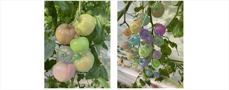 トマトの画像物体検出データセットが無料公開 農業でのAI活用に